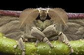 Saturniid moth (Antheraea korintjiana), Kinabalu NP, Borneo, Malaysia