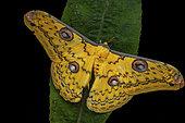 Saturniid moth (Loepa megacore), male imago on a leaf, Kinabalu NP, Borneo, Malaysia