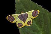 Geometer moth (Plutodes flavescens), imago on a leaf, Kinabalu NP, Borneo, Malaysia