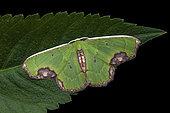 Geometer (Spaniocentra apatelloides), imago on a leaf, Kinabalu NP, Borneo, Malaysia