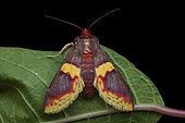 Grass moth (Pachynoa purpuralis), imago on a leaf, Kinabalu NP, Borneo, Malaysia