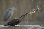 Cormorant (Phalacrocorax carbo), young bird from the previous year throwing its prey up for eating, Kiskunság National Park, Hungary, Europe