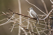 Ashy Flycatcher (Muscicapa caerulescens) standing on a branch in Kruger National park, South Africa