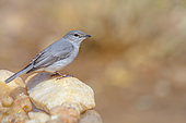 Ashy Flycatcher (Muscicapa caerulescens) standing on stone with natural background in Kruger National park, South Africa