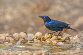 Cape Glossy Starling (Lamprotornis nitens) standing at waterhole with natural background in Kruger National park, South Africa