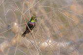 Mariqua Sunbird (Cinnyris mariquensis) standing in the bush in Kruger National park, South Africa