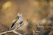 Red backed Scrub Robin (Cercotrichas leucophrys) singing in morning light in Kruger National park, South Africa