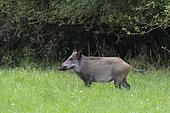 Wild boar on meadow, Sus scrofa, Female, Germany, Europe