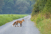 Red fox on path, Vulpes vulpes, Summer, Germany, Europe