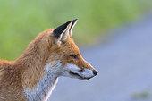 Red Fox, Vulpes vulpes, Summer, Germany, Europe