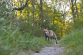 Red fox on path in forest, Vulpes vulpes, Springtime, Germany, Europe