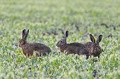 European brown hares in mating season, Lepus europaeus, Hesse, Germany, Europe