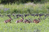 European brown hares in mating season in springtime, Lepus europaeus, Hesse, Germany, Europe