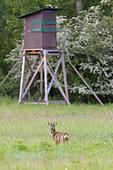 Western roe deer in front of hunting blind, Capreolus capreolus, Roebuck, Hesse, Germany, Europe