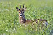 Western roe deer in springtime, Capreolus capreolus, Roebuck, Hesse, Germany, Europe