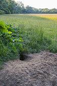 Terrier de Renard roux (Vulpes vulpes) dans une prairie, Allemagne