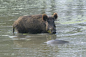 Wild boar looks at a carp in pond, Sus scrofa, Hesse, Germany, Europe