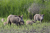 Wild boars in summer, Sus scrofa, Hesse, Germany, Europe