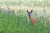 Western roe deer in field, Capreolus capreolus, Germany, Europe