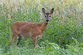 Western roe deer in field, Capreolus capreolus, Germany, Europe