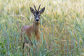 Western roe deer in cornfield, Capreolus capreolus, Roebuck, Hesse, Germany, Europe