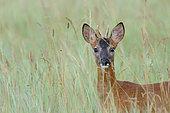 Western roe deer summer, Roebuck, Capreolus capreolus, Hesse, Germany, Europe