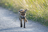 Red fox with mouses, Vulpes vulpes, Hesse, Germany, Europe