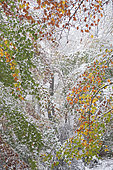 1st snow in autumn on the beech leaves of the Vosges du Nord forest, Vosges du Nord Regional Nature Park, France