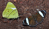 Hewitson's olivewing (Nessaea hewitsonii) on ground, native to Peru