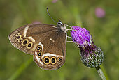 Woodland Brown (Lopinga achine) on a flower