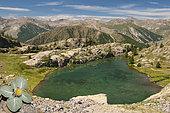 Woolly berardia (Berardia lanuginosa) above Lake Vens, Mercantour National Park, Alps, France
