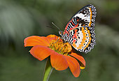 Red Lacewing (Cethosia biblis) on a flower, native to the Philippines