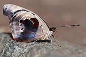 Blue-frosted Banner (Catonephele numilia) male on rock, native to Costa Rica