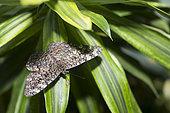 Gray cracker (Hamadryas februa) on a leaf, native to Amazonia