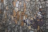 Variable cracker (Hamadryas feronia) on bark, native to South Texas