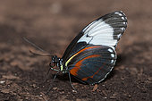 Longwing (Heliconius cydno) on ground, native to Costa Rica