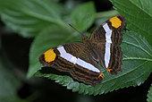 Linda's emperor (Doxocopa linda )on a leaf, native to Peru