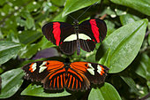 Red Postman (Papilio erato) male and female on a leaf, native to Amazonia
