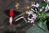 Red Postman (Papilio erato) on flowers, native to Amazonia