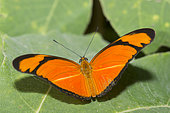Julia heliconian butterfly (Dryas iulia) on a leaf, native to Amazonia
