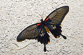 Great mormon (Papilio memnon) female on ground, native to Malaysia