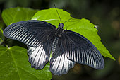 Great mormon (Papilio memnon) male on one leaf, native to Malaysia