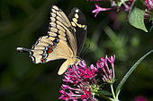 Giant swallowtail (Papilio cresphontes) on flowers, native to French Guiana