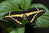 Giant swallowtail (Papilio cresphontes) on a leaf, native to French Guiana