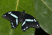 Medium green-banded swallowtail (Papilio sosia) on a leaf, native to Africa