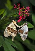 African Swallowtail (Papilio dardanus) mating, native to Kenya