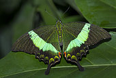 Emerald Swallowtail (Papilio palinurus) on leaf, native of the philippines