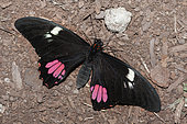 Ruby-spotted swallowtail ( anchisiades) on ground, native of the Amazon