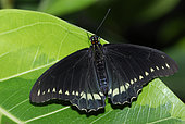 Common Mormon (Papilio polytes) on a leaf, native to the Philippines