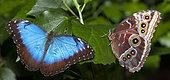 Blue morpho (Morpho peleides) on a leaf, native to Brazil
